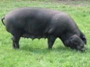Large Black Pig Farm